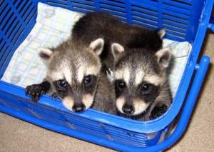 cute-baby-raccoons