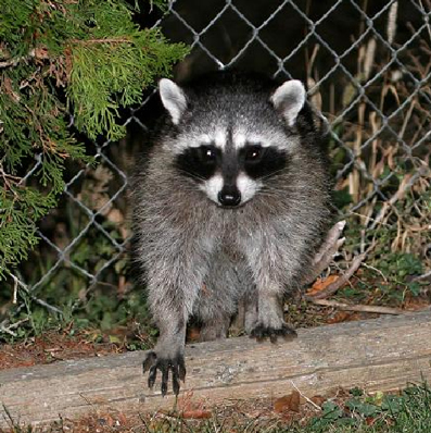What Attracts Raccoons To Your House Zuma Raccoon Networks